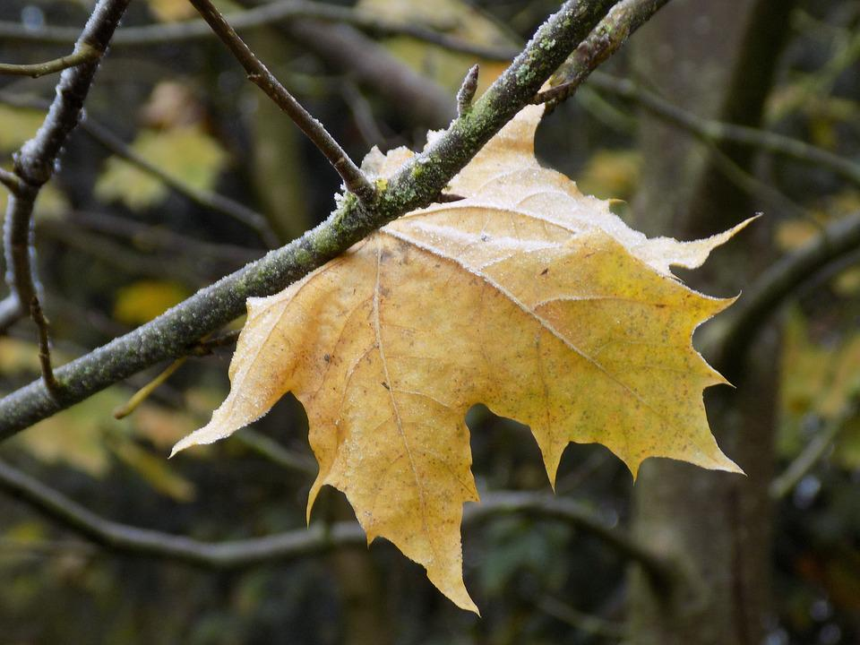 Maple, Leaf, Yellow, Frost