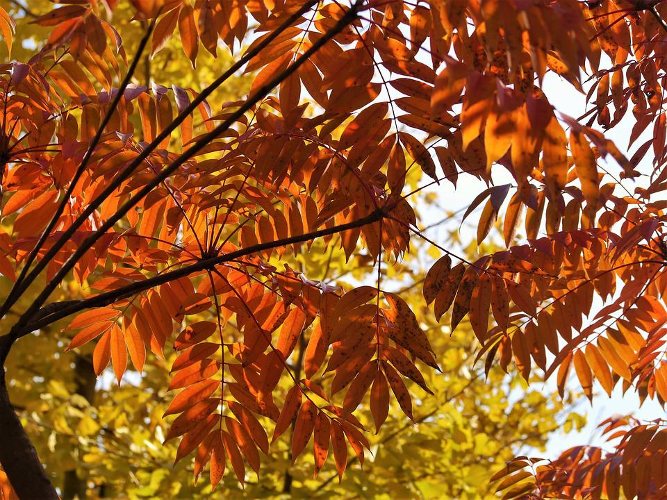 Yellow Leaves, Autumnal Leaves, Red, Huang, Gingko Tree