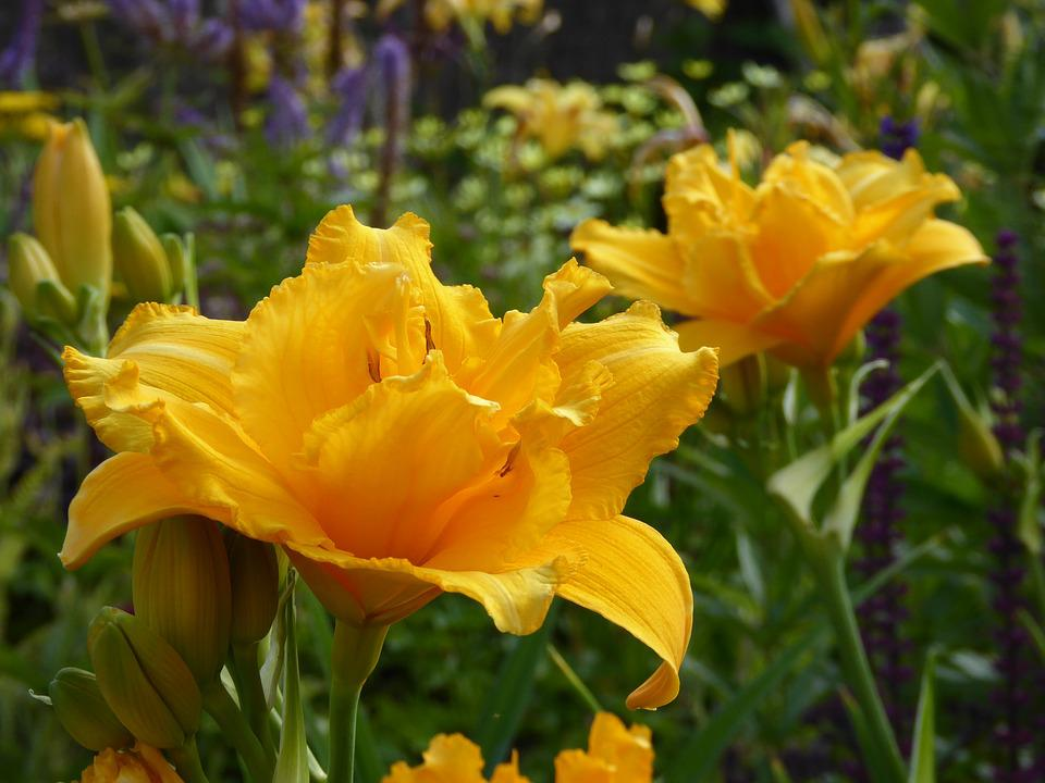 Lilies, Ornamental Garden, Yellow, Close, Flowers
