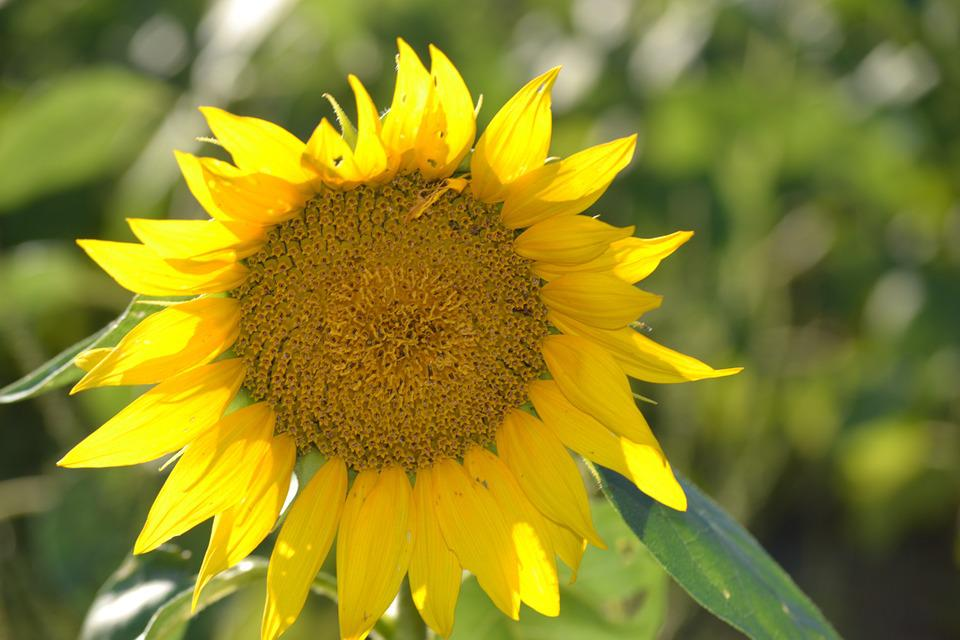 Sunflower, Lone Flower, Yellow, Nature, Magnificent