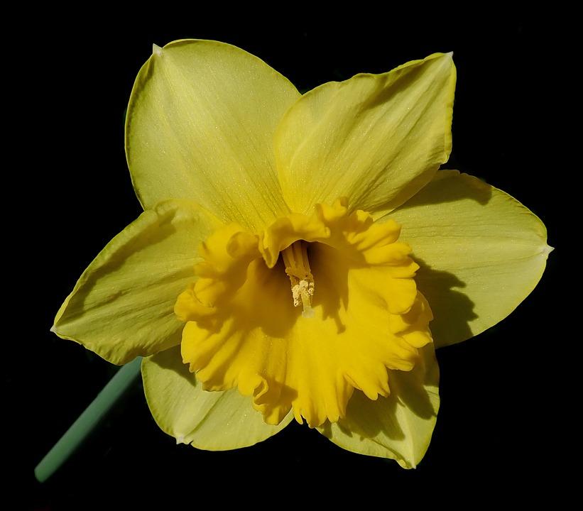Flower, Yellow, Daffodil, Spring, Macro, Garden, Nature
