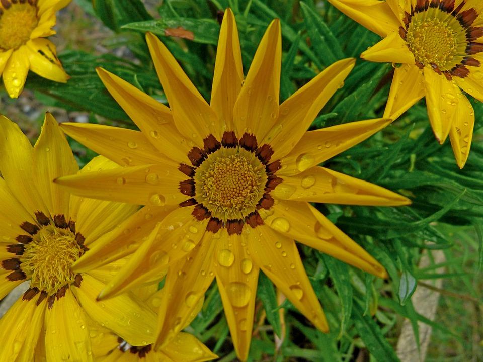 Flowers, Coreopsis, Macro, Nature, Garden, Yellow