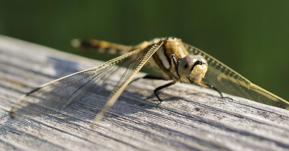 Dragonfly, Insect, Macro, Nature, Yellow