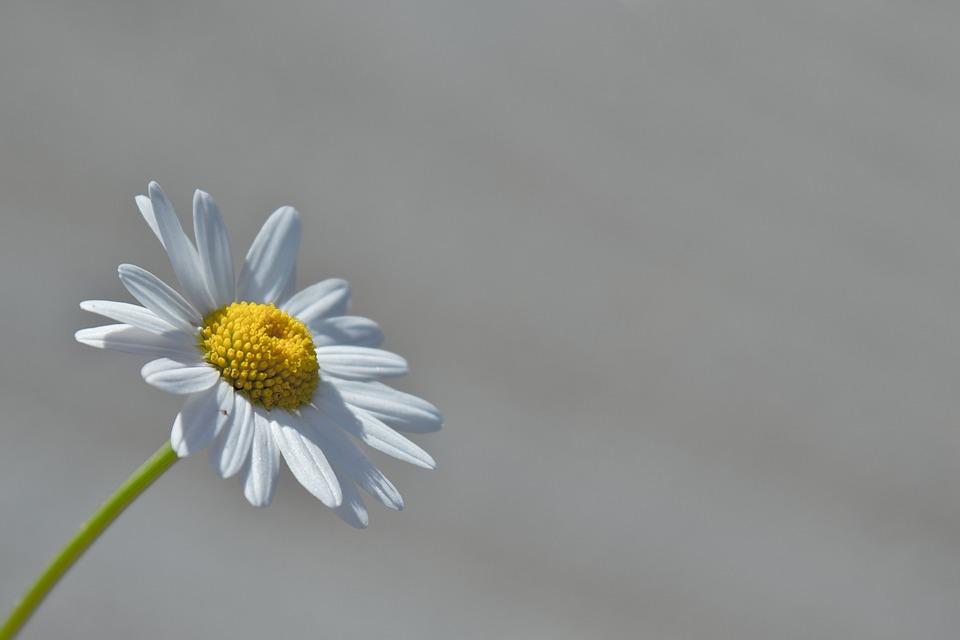 Marguerite, Flower, Macro, Yellow, Daisy