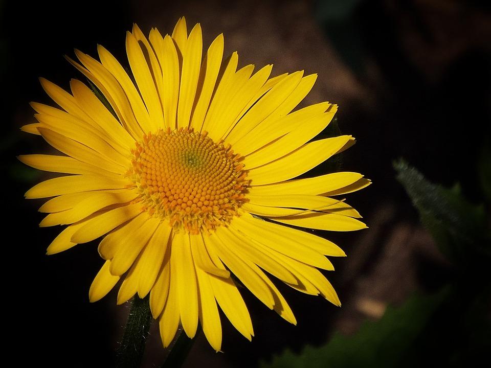 Flower, Yellow, Spring, Macro, Garden