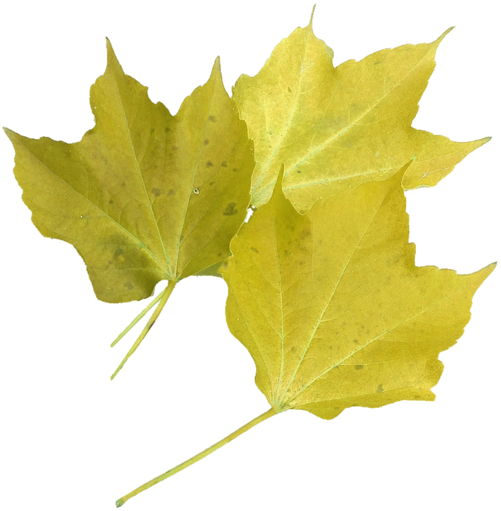 Isolated, Yellow Maple Leaf, Nature, Autumn Colours