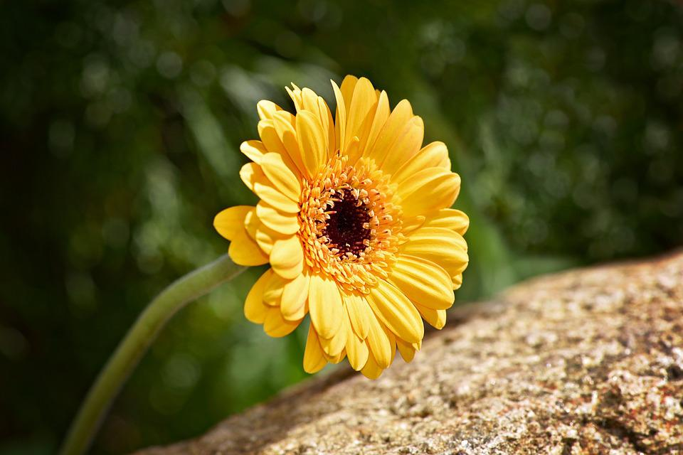 Marguerite, Flower, Plant, Blossom, Bloom, Yellow