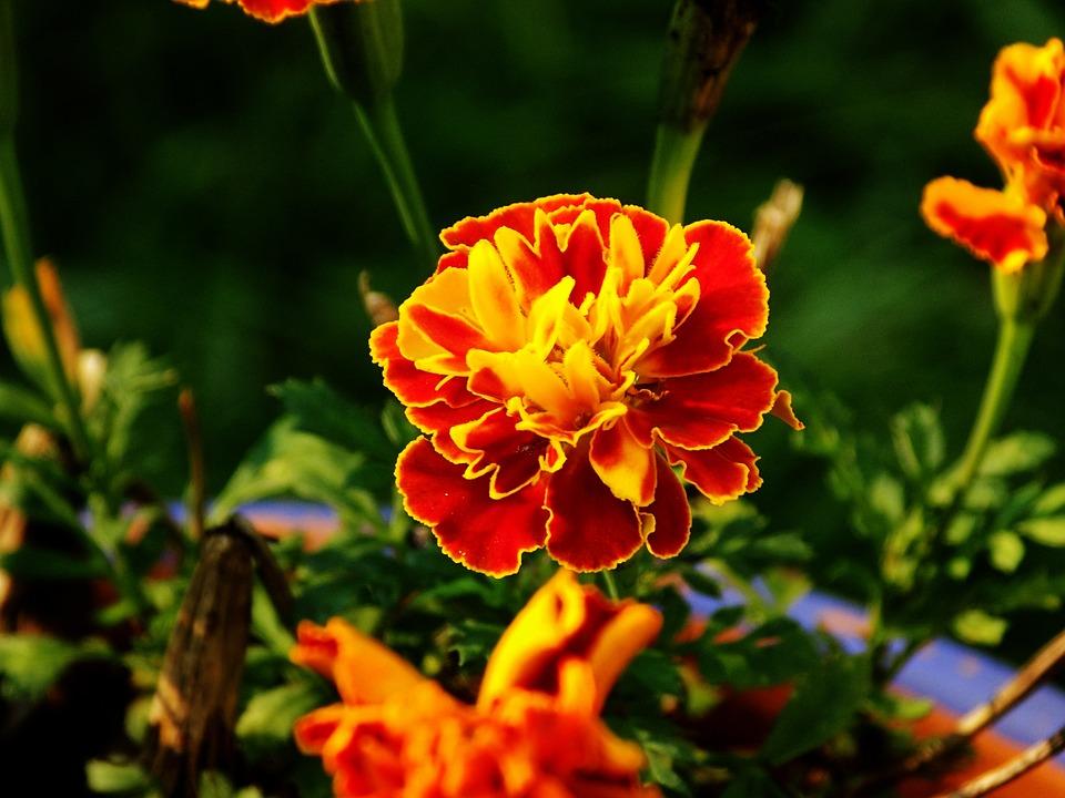 Marigold, Flower, Bloom, Blossom, Yellow, Orange