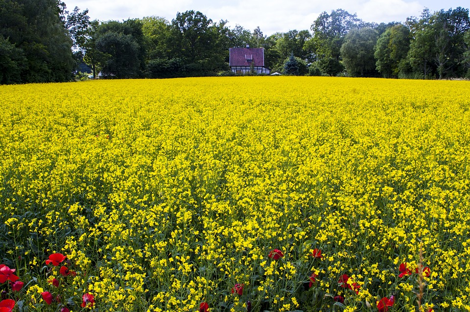 Canola, Yellow Meadow, Bed, Landscapes, Spring
