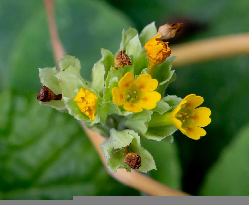 Mooie Primula, Flower, Yellow, Small Yellow Flower