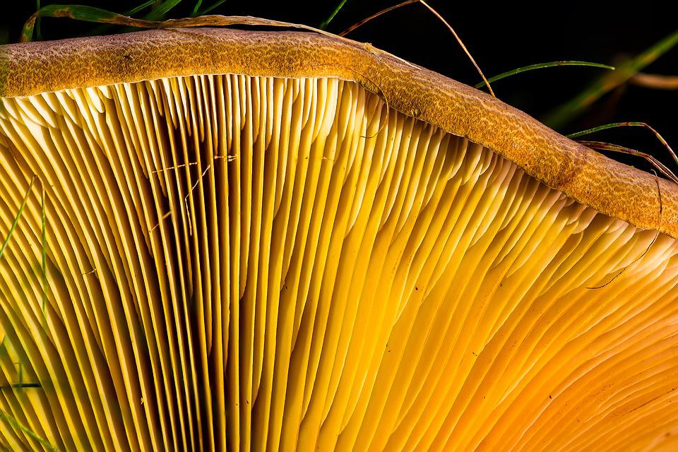 Agaric, Mushroom, Disc Fungus, Yellow, Lamellar