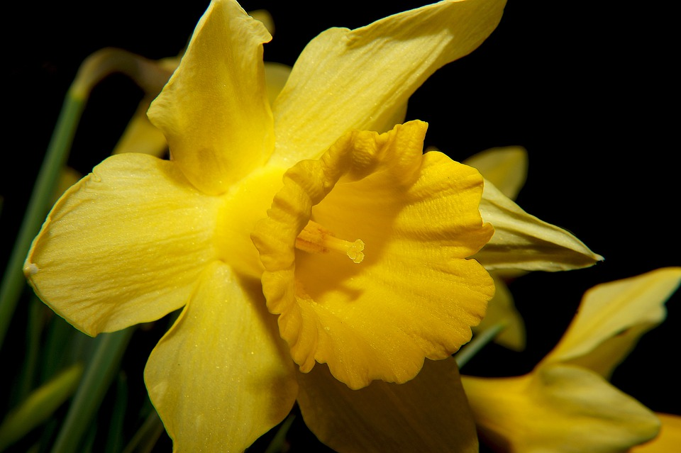Daffodil, Narcissus, Blossom, Bloom, Yellow, Spring
