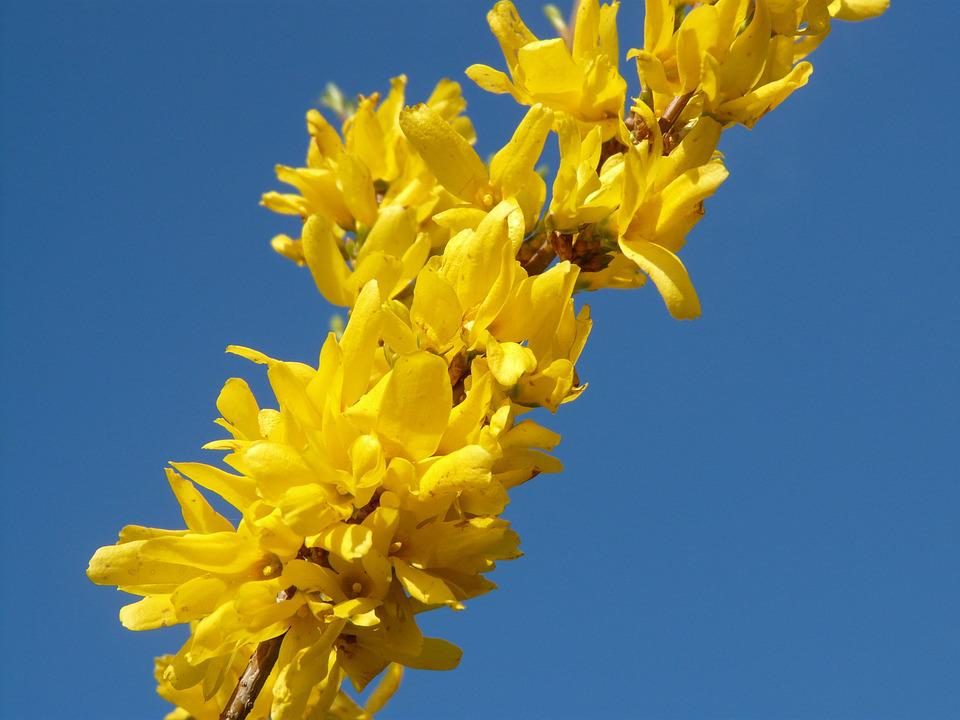 Forsythia, Spring, Blossom, Bloom, Nature, Yellow