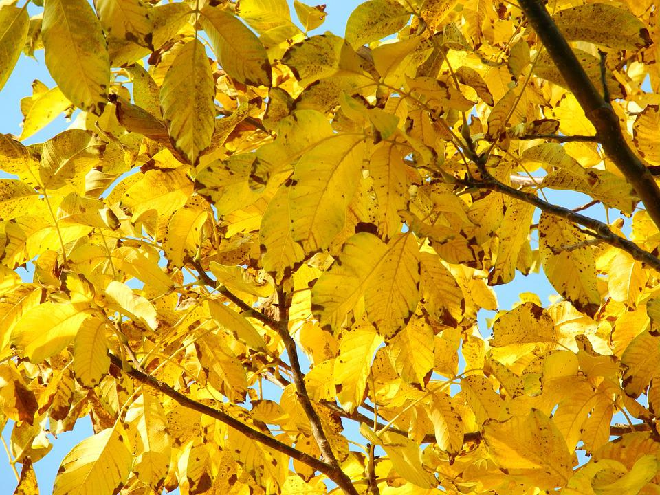 Tree, Crown, Yellow, Foliage, Nature, Autumn, Branches