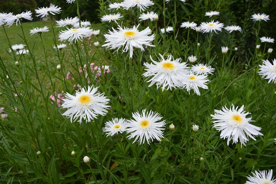Flowers, Daisies, Spring, Nature, Yellow, Garden