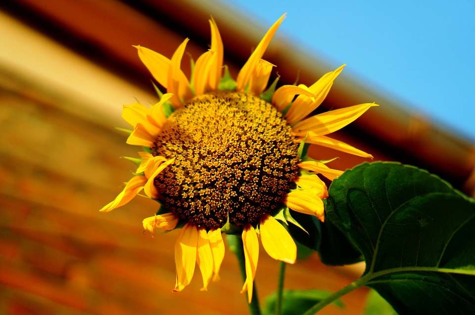 Sunflower, Flowers, Yellow, Nature