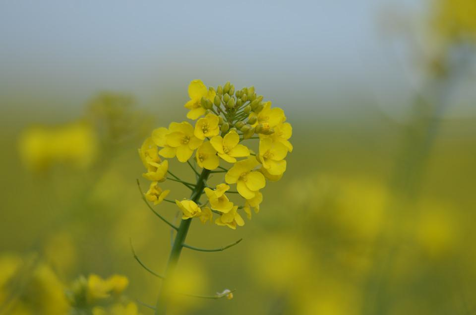Rapeseed, Oil, Flower, Yellow, Nature, Spring, Plants