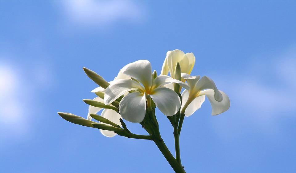 Plumeria, Flowers, Nature, White, Yellow, Petal, Sky