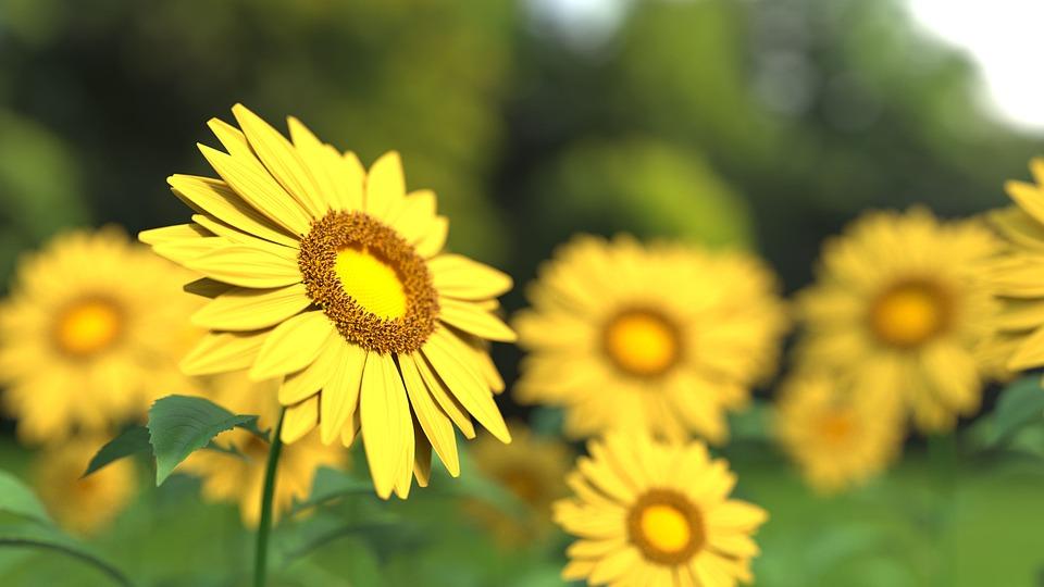 Sunflower, Flower, Nature, Yellow, Sunflower Field