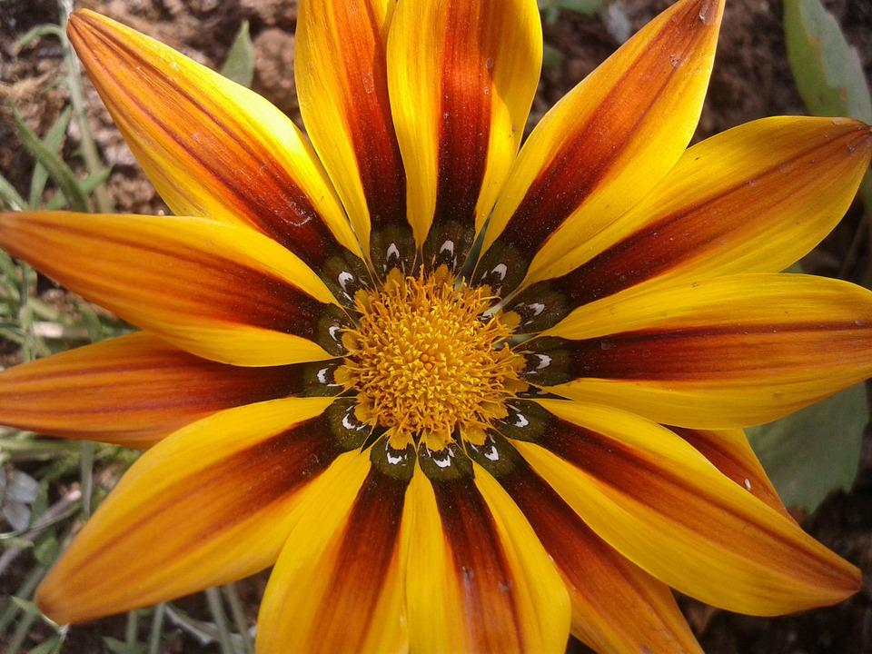 Yellow, Orange, Gazania, Flower, South Africa, Bright