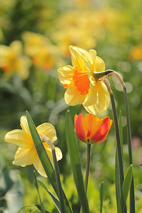 Flower, Narcissus, Yellow Orange, Spring