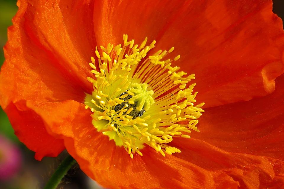 Poppy, Flower, Red, Orange, Yellow, Summer, Nature