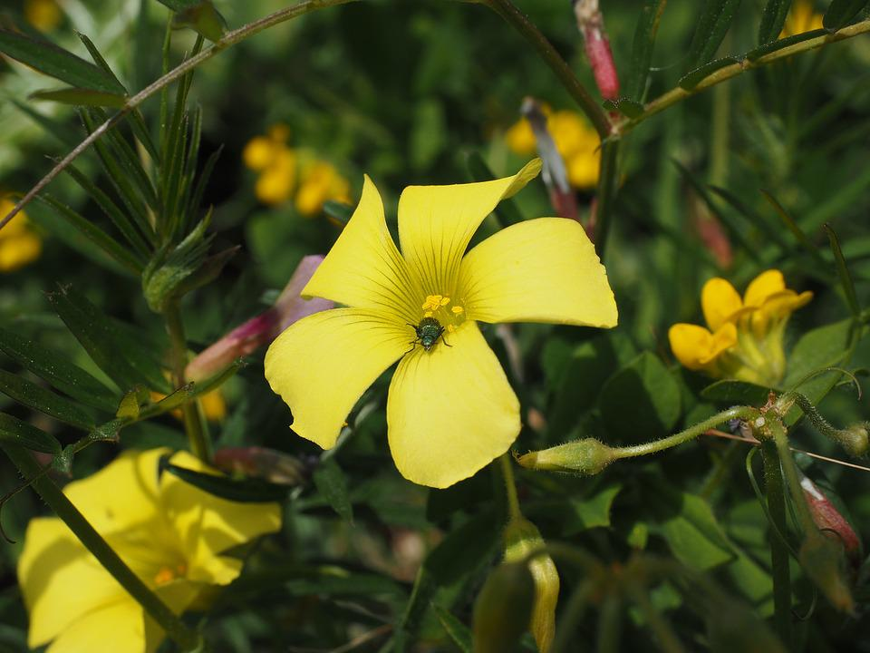 Oxalis Pes-caprae, Flower, Blossom, Bloom, Yellow