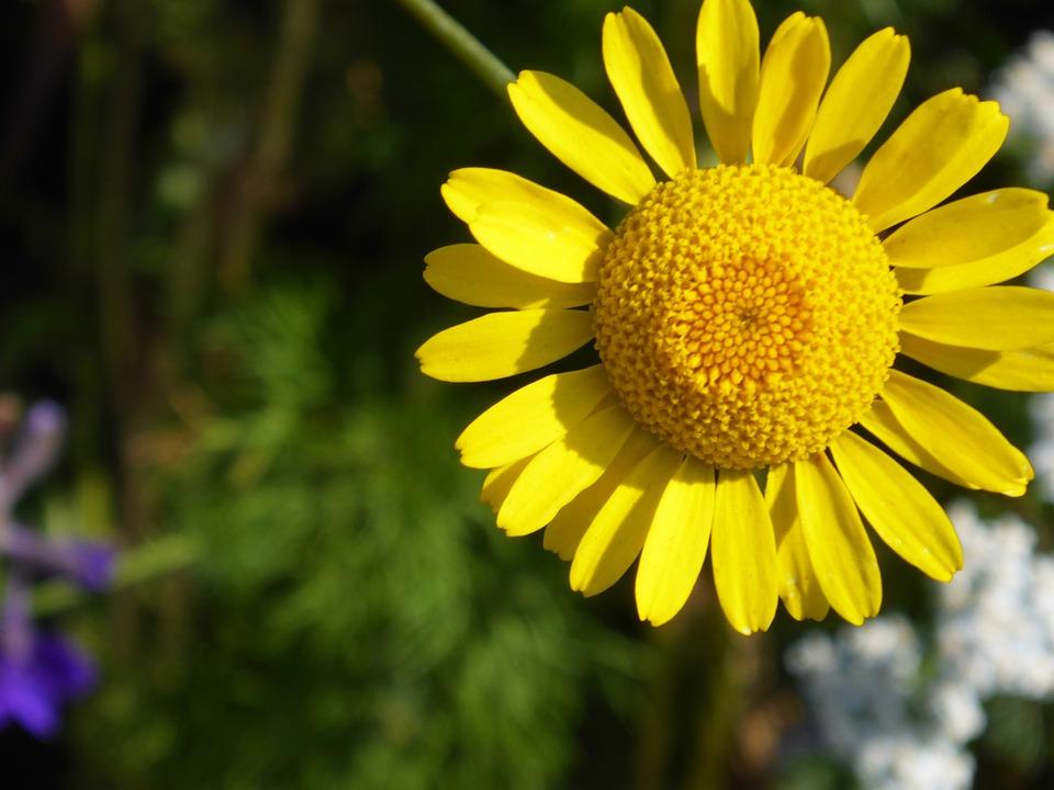 Coneflower, Pallida, Blossom, Bloom, Yellow, Bright
