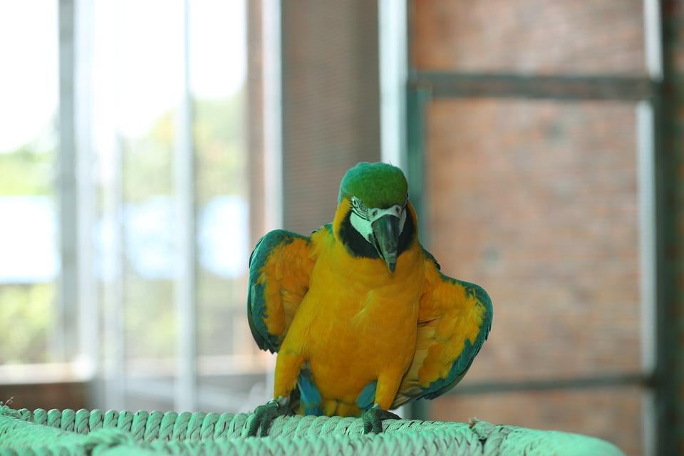 Green Parakeet, Yellow Parakeet