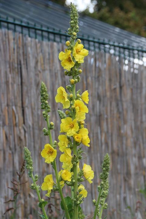 Mullein, Plant, Yellow, Wild Plant, Wild Flower, Park