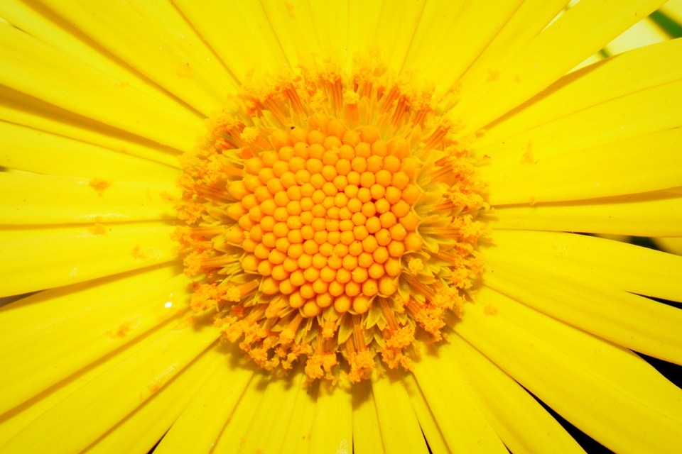 Flower, Yellow, Pestle, Stamens