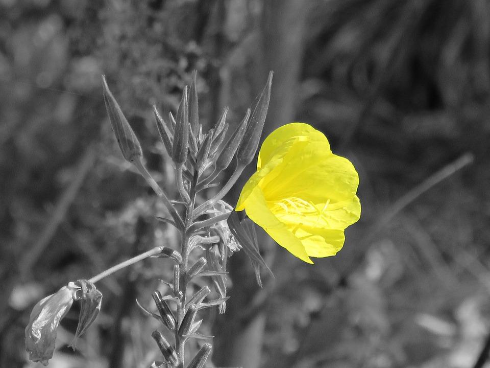 Pink Evening Primrose, Flower, Yellow
