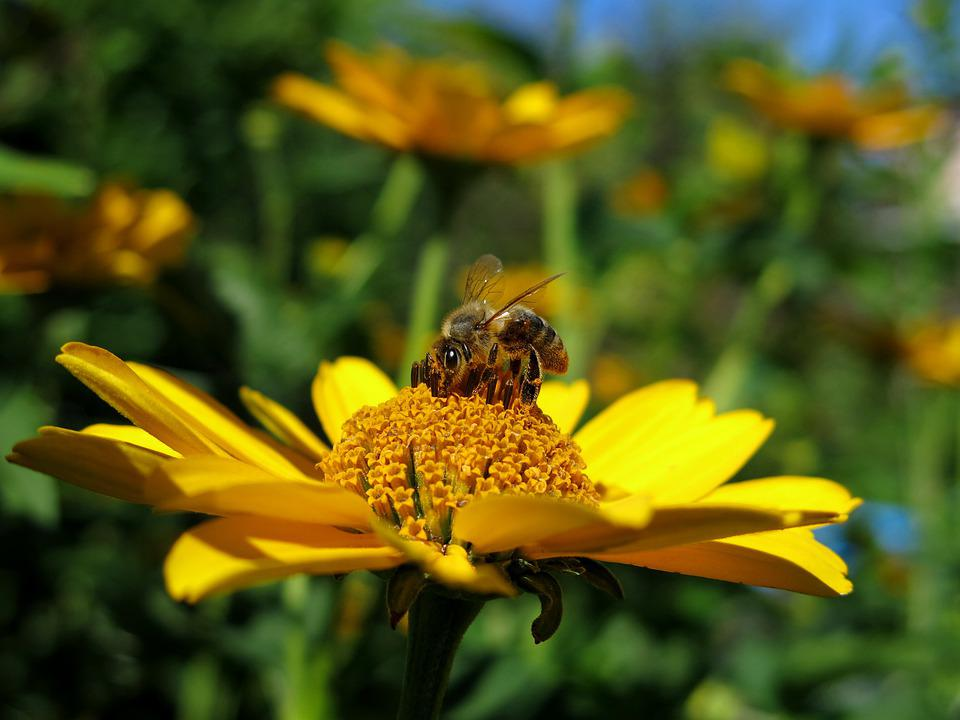 Bee, Flower, Yellow, Plant, Blossom, Bloom, Close Up