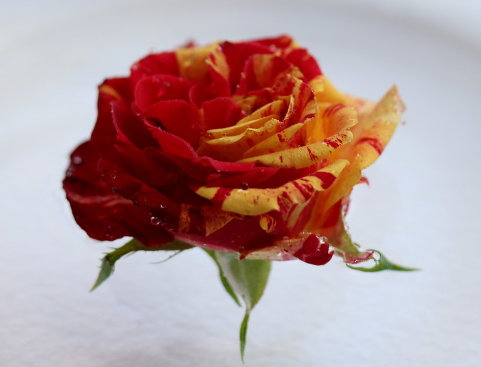 Rose, Red, Yellow, Flower, Petals, Coloring, Plant