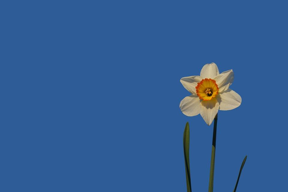 Daffodil, Flower, Blossom, Bloom, Yellow, Plant, Spring