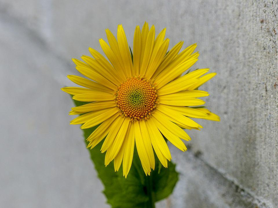 Flower, Daisy, Yellow, Close Up, Plant, Garden, Nature