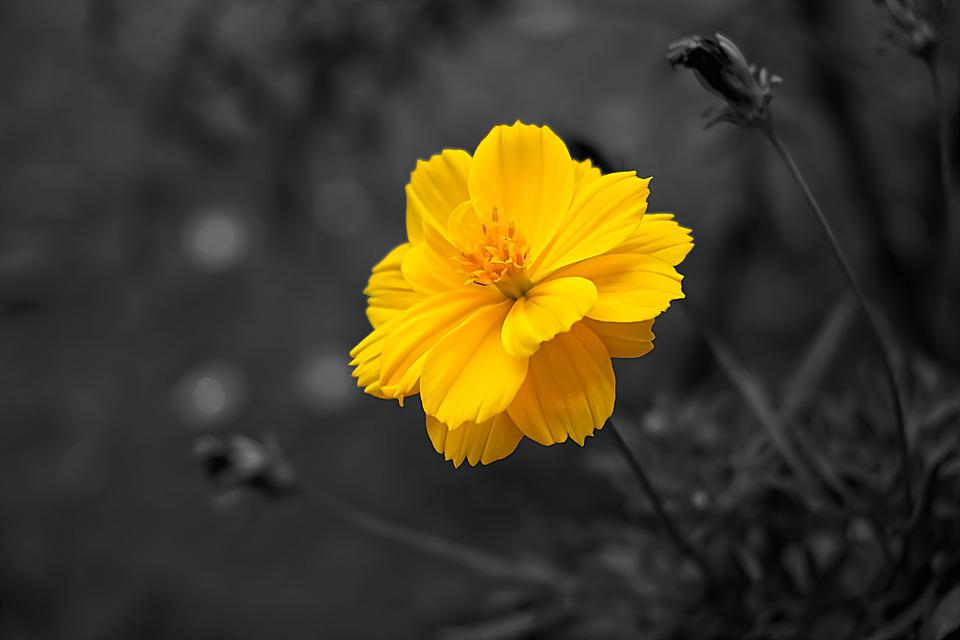 Flower, Cosmos, Yellow, Nature, Plant, Selective Colour