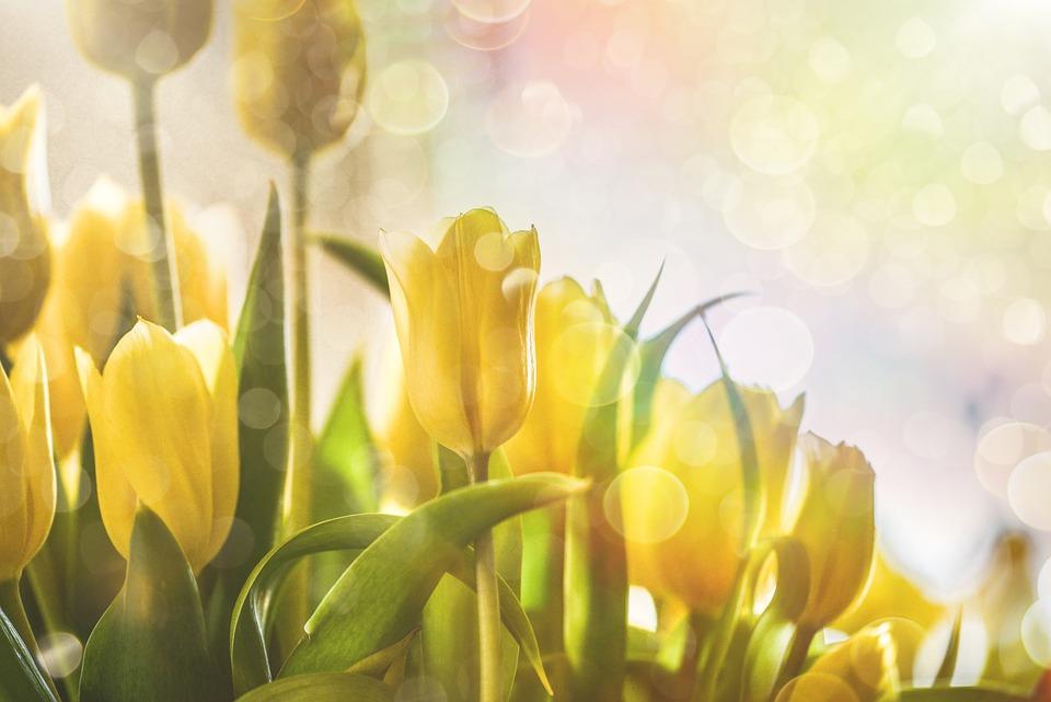 Flower, Tulip, Yellow, Spring, Bloom, Plant, Green