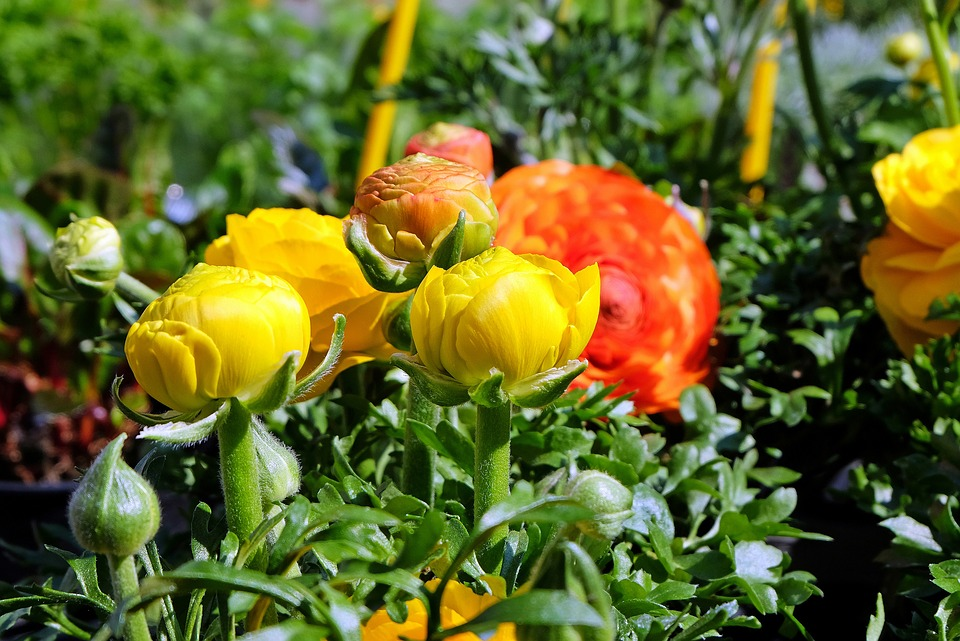 Flowers, Ranunculus, Yellow, Orange, Plant, Spring
