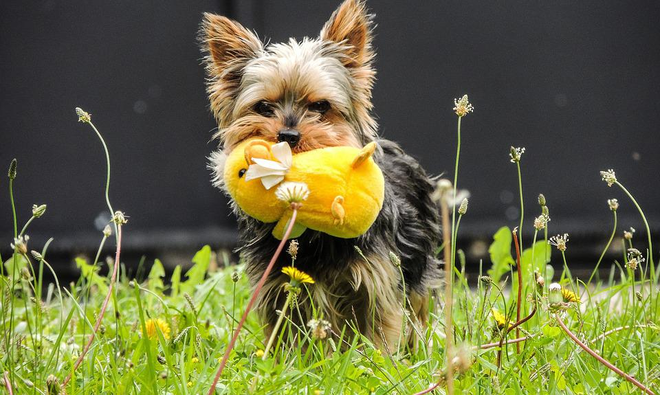 Dog, Plush, Yorkshire Terrier, Yellow