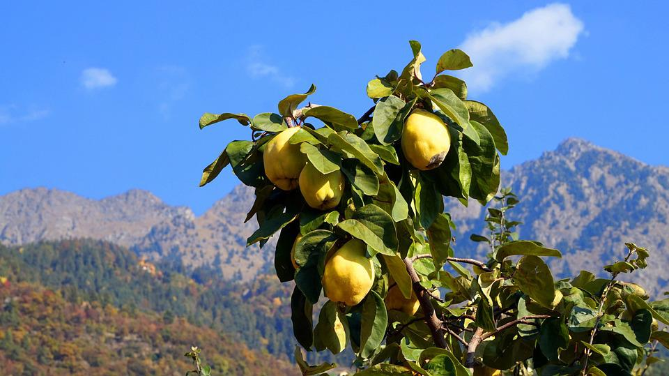 Quince, Autumn, South Tyrol, Yellow, Fruit