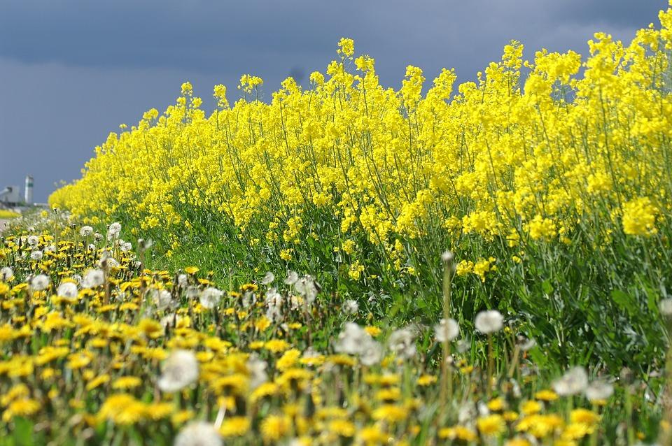Free photo yellow rapeseed fields yellow flowers summer max pixel rapeseed yellow flowers summer fields yellow mightylinksfo Images