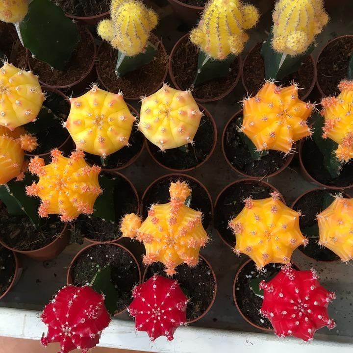 Cactus, Red, Gardening, Yellow, Orange