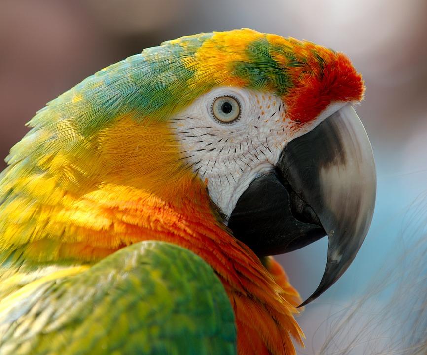 Macaw, Parrot, Bird, Hybrid, Red, Green, Yellow, Orange