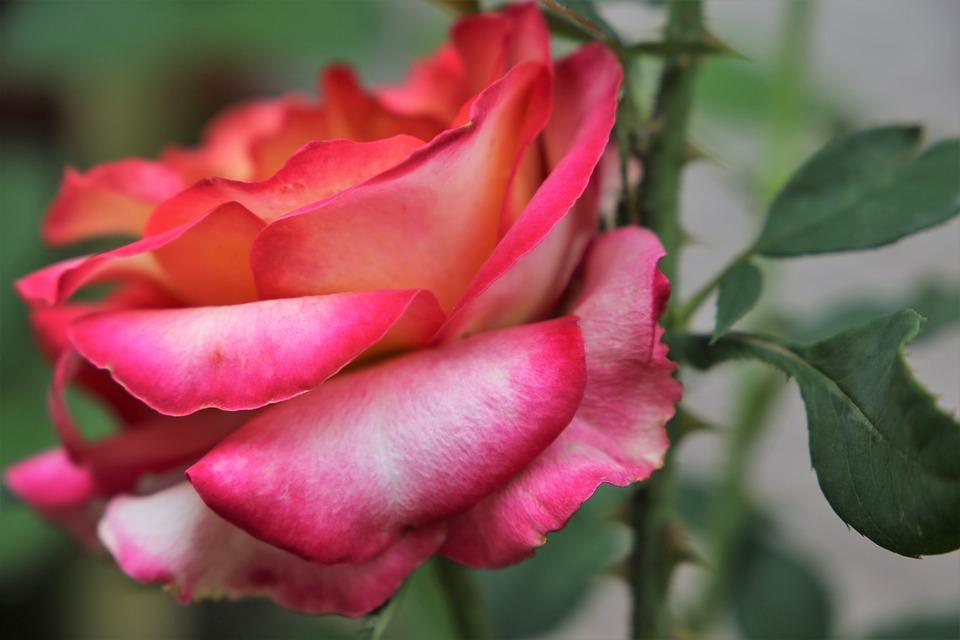 Yellow Red Rose Alinka, Flower, Bloom, Blossom