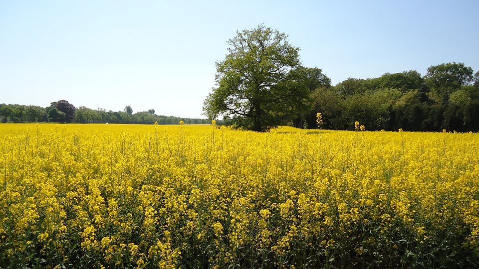 Field Of Rapeseeds, Yellow, Renewable Energy