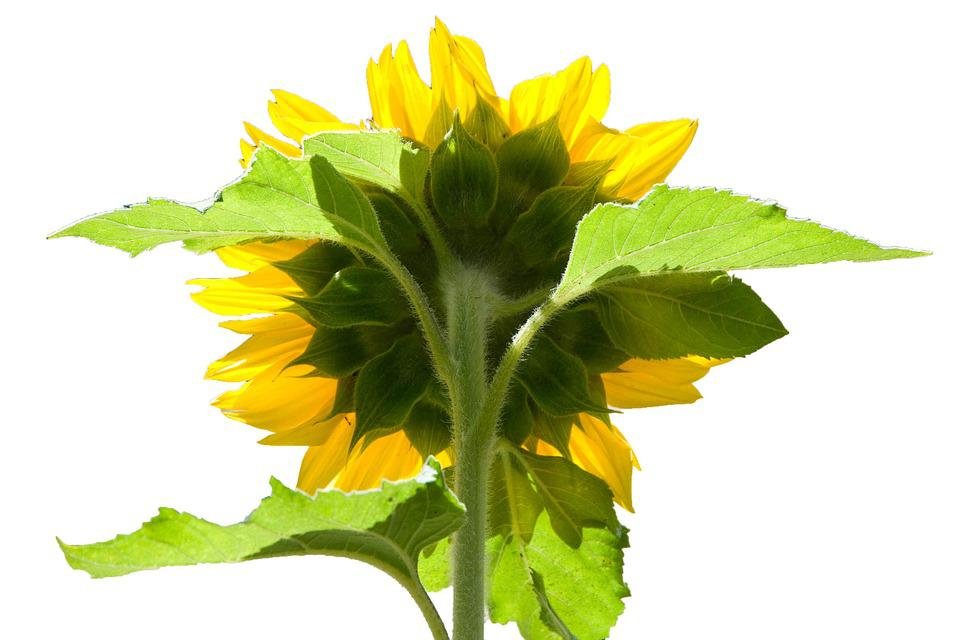 Sunflower, Reverse, Behind, Back, Yellow, Green