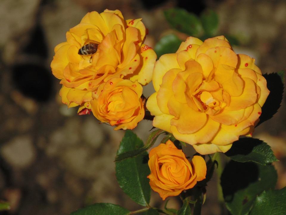 Rose, Flower, Bee, Yellow