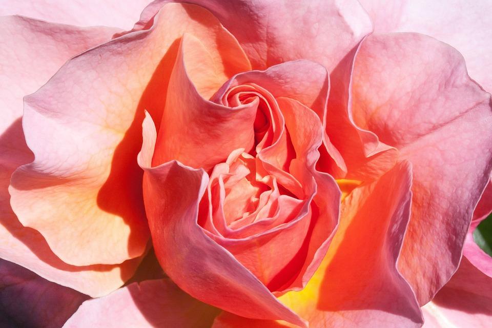 Rose, Orange, Yellow, Salmon, Flowers, Summer, Flower