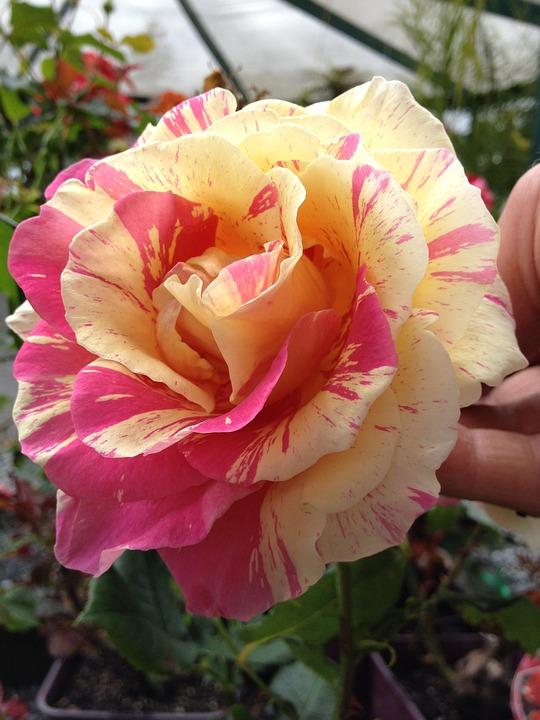 Rose, Pink, Yellow, Flower, Love, Petal, Romantic